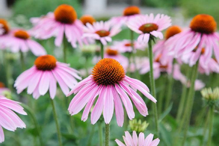 Echinacea-strongest natural antibiotics