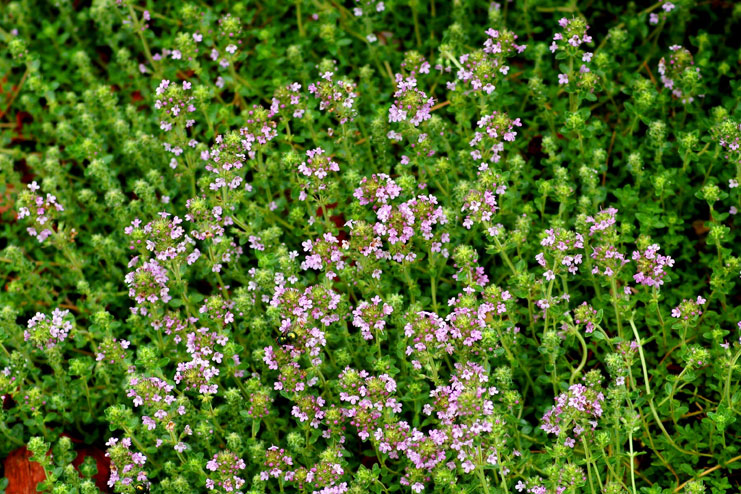 Thyme-strongest natural antibiotics